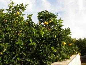 Дикие апельсины в Лос Анджелесе