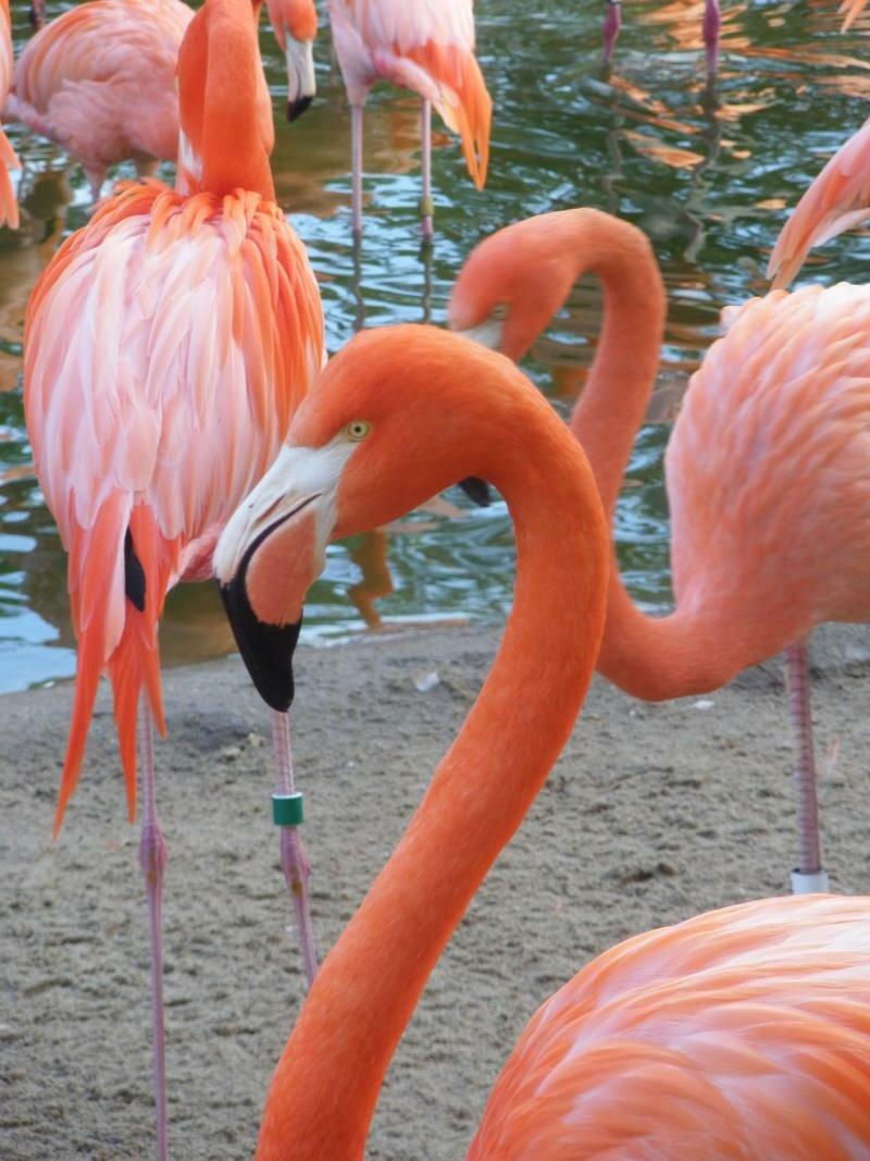 Розовый фламинго в зоопарке San Diego